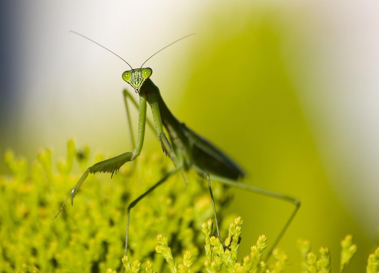 Praying Mantis - Helper Insect